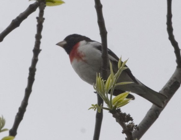 Rose-breasted Grosbeak ... yes the blob high up in the previous image